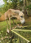 picture of jack-ass  - Wide angle image of a small donkey eating a palm leaf - JPG