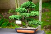 picture of juniper-tree  - beautiful juniper bonsai in a botanical garden
