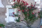 Climbing Rose Bush In France.
