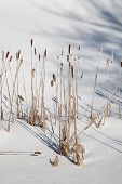 Winter Cattails