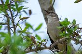 picture of mockingbird  - Northern Mockingbird singing in tree in Southwest Florida - JPG