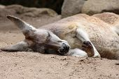 Red Kangaroo Sleeping
