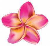 Plumeria flor