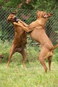 picture of bitch  - Two Rhodesian ridgeback bitches standing and fighting - JPG