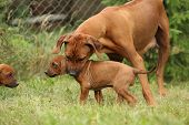 stock photo of bitches  - Rhodesian ridgeback bitch educating young puppy on the grass - JPG