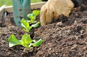 Planting Salad