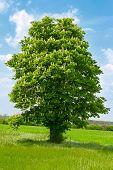 A Chestnut Tree With White Blossom