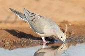 Mourning Dove - Texas