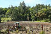 Worker Cultivates Soil In Vineyard In Napa Valley, California