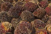 Palm Oil seeds, Renewable energy