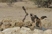 Jackal hunting sand grouse