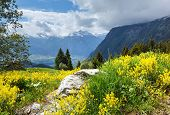 Yellow Wild Flowers On Summer Mountain Slope