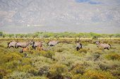 Gemsbok Antelopes With Calfs At South African Bush