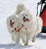 Samoyed Sled Dog Team At Work