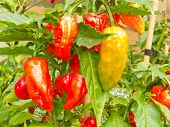 Specialty peppers Ghost Chili ripe to harvest