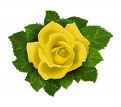 Yellow rose flower with leaves