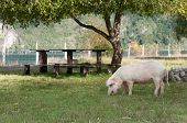 Picnic Table And Pig