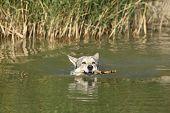Swimming Saarloos Wolfhound