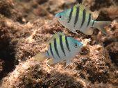 Hawaiian Sergeant Damselfish  juvenile pair (mamo)