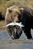 stock photo of omnivores  - Grizzly Bear walking in river catching a salmon - JPG