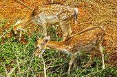 Siga Deer In The Nature
