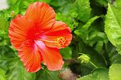 Hibiscus Flowers - Orange Flower In The Nature