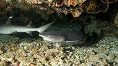 Cave White Tip Sharks