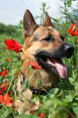 Dog And Red Poppies On The Meadow. Summer Hot Day.