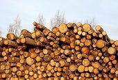 Harvesting Timber Logs
