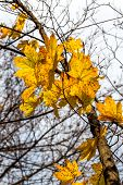 Single Yellow Maple Leaves