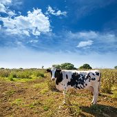 Menorca friesian cow grazing near Ciutadella Balearic Islands cattle