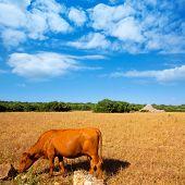 Menorca brown cow grazing in golden field near Ciutadella at Balearic islands