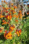 Colorful Flowering Wallflower Plants In Springtime