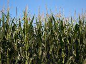 maíz 1