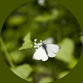 Cabbage Butterfly In Green Background