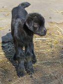Black Goatling
