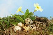 foto of hazy  - Birds eggs in a nest of straw and moss underneath a flowering primrose against a blue sky with hazy white cloud - JPG