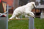 Golden Retriever At Agility Course