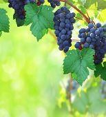 Nature background with Vineyard