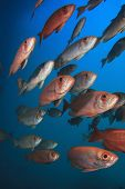 School of Red Fish: Crescent-tailed Bigeyes