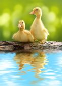 Cute little duckling over green natural background.