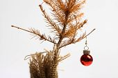 foto of sad christmas  - Color shot of a small dead Christmas tree - JPG