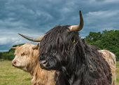 Highland Longhorn Cattle