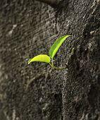 bud develop on the crude bole