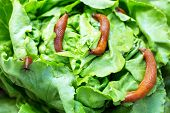 stock photo of garden snail  - a slug in the garden eating a lettuce leaf - JPG