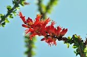 Blooming Ocotillo