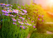stock photo of manicured lawn  - Summer garden with purple flowers and green plants - JPG