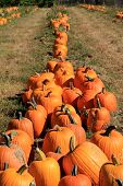 Long row of harvest pumpkins