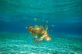 image of lion-fish  - Lion Fish isolated on blue - JPG