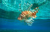 foto of lion-fish  - Lion Fish isolated on blue - JPG